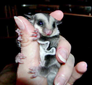 Australian native animal The Sugar Glider rescues by Thrill team building