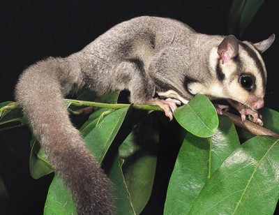 Native Sugar Glider foraging for food is vulnerable to predation by domestic cats and feral foxs.